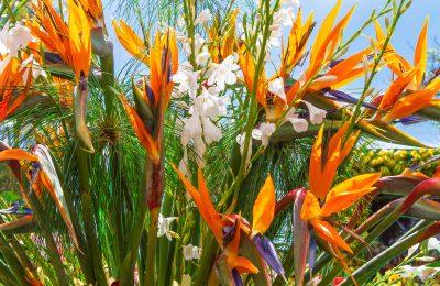 azores flowers santa maria