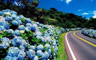 Azores Flowers Hydrangea Island of Faial