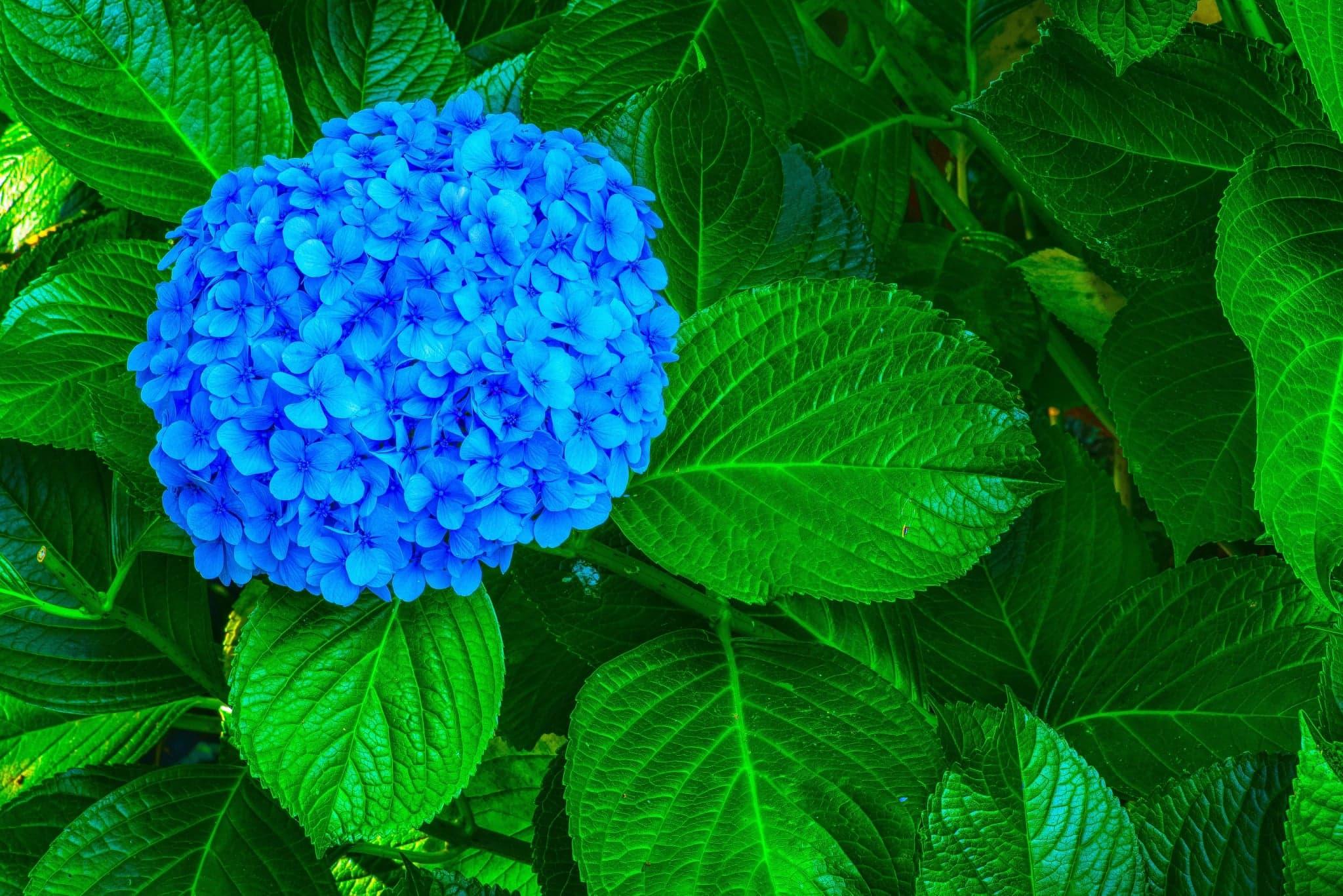 Blue Hydrangea from the Azores Island on Faial Island