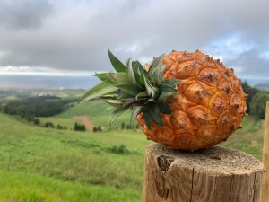 Pineapple from Sao Miguel Island in the Azores