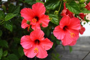 Azores Red Hibiscus Flower in Garden
