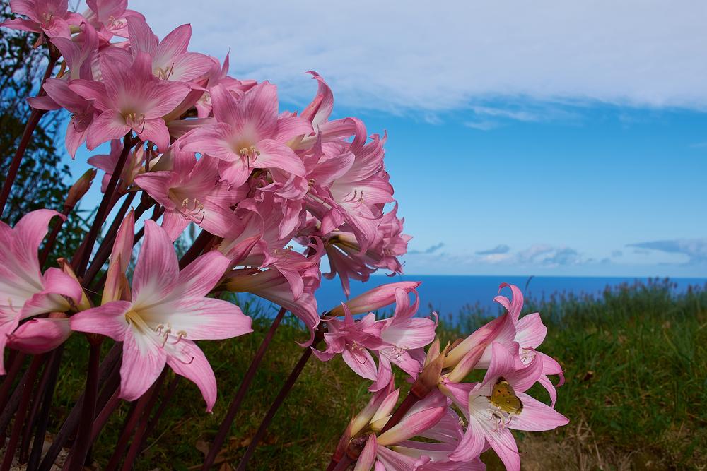 Azores Islands Belladonna Flower
